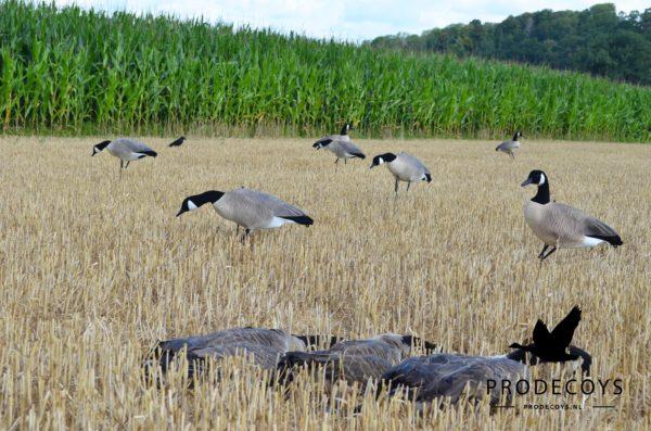 Canada goose hunting decoys