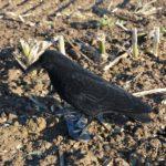 crow decoys flocked